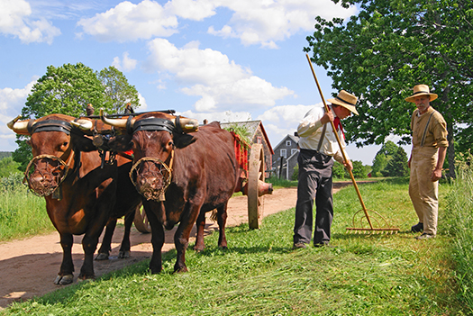 Oxen at Ross Farm Museum