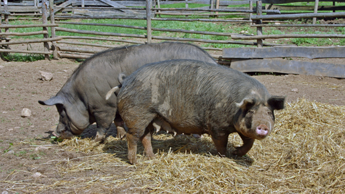 Berkshire Pigs at Ross Farm Museum