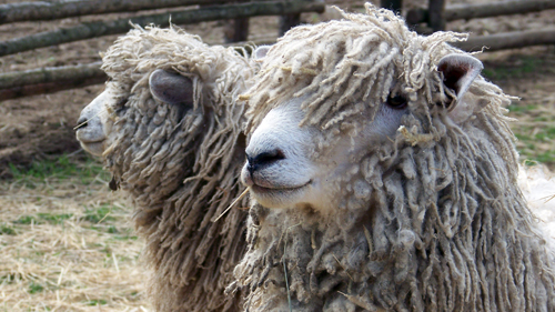 Two Cotswold Sheep at Ross Farm Museum
