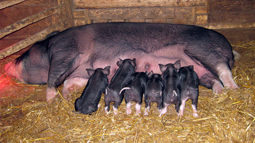 Little piglets nursing at Ross Farm Museum