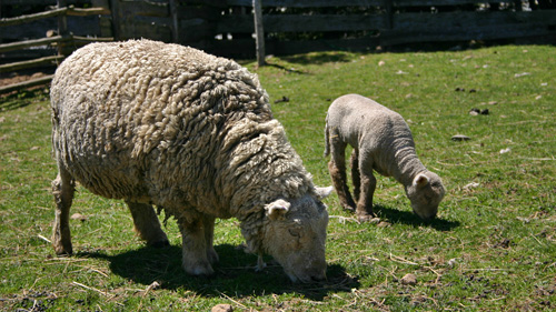 Southdown ewe and lamb eating grass at Ross Farm