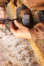 Shoeing an Ox at Ross Farm